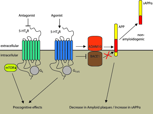 Figure 2. Serotonin receptors and APP processing. The impact of 5-HT4R and 5-HT6R-mediated signaling on the APP degradation. While stimulation of the 5-HT4R drives APP processing towards the beneficial non-amyloidogenic path via direct interaction with α-secretase ADAM10 or β-secretase BACE1, inhibition of the 5-HT6 receptor promotes procognitive effects via reduction of mTOR activity.