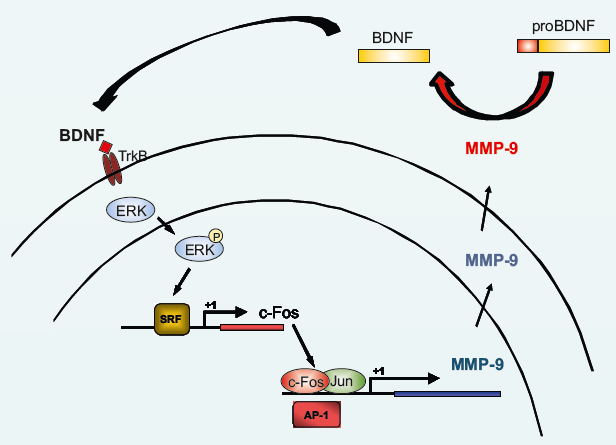 Figure 1. Schematic representation of the proposed feedback loop between c-Fos and MMP-9. When MMP-9 is released and activated in response to synaptic stimulation, it may cleave pro-BDNF to produce mature BDNF that in turn activates TrkB receptor to signal through ERK kinases to the cell nucleus to stimulate SRF transcription factor controlling c-fos gene expression. Finally, c-Fos (together with Jun protein) acts as AP-1 transcription factor turning on MMP-9 gene transcription (see Kuzniewska et al., 2013 for details).