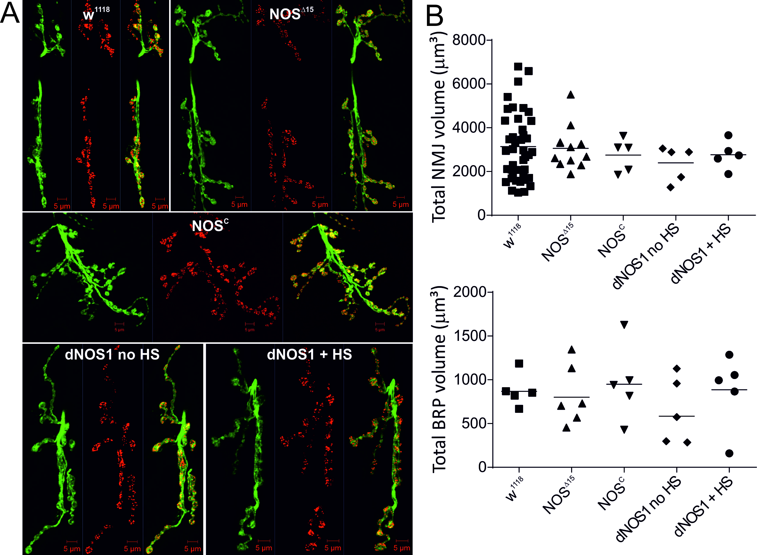 Figure 5. Changes in NOS activity do not cause developmental effects of NMJ morphology. A, Confocal maximal projection images of NMJs of indicated genotypes with HRP (green) and BRP (nc82, bruchpilot, red) labelling. B, Total NMJ volume and BRP volume were calculated form z-stack confocal images, analysis of NMJ and BRP volumes revealed no difference between genotypes, n=36-5 NMJs, p>0.05, ANOVA with post hoc Tukey-Kramer was used for comparisons.