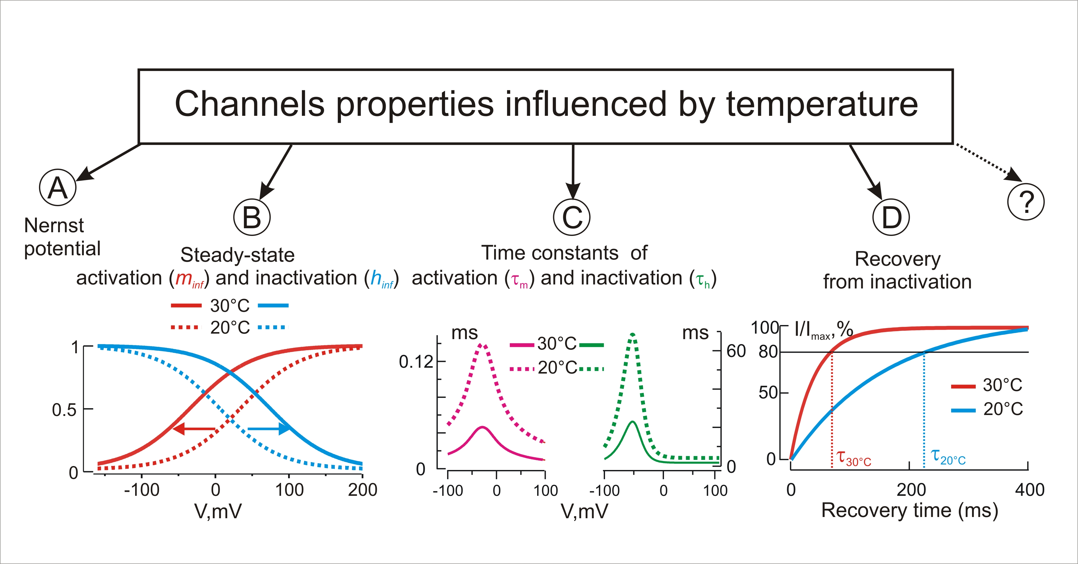 Figure 1. Temperature influences the Nernst equilibrium potential (A), steady-state kinetics (B) and time constants (C) of activation and inactivation, recovery from inactivation (D), and, possibly, other yet unknown biophysical properties of channels.