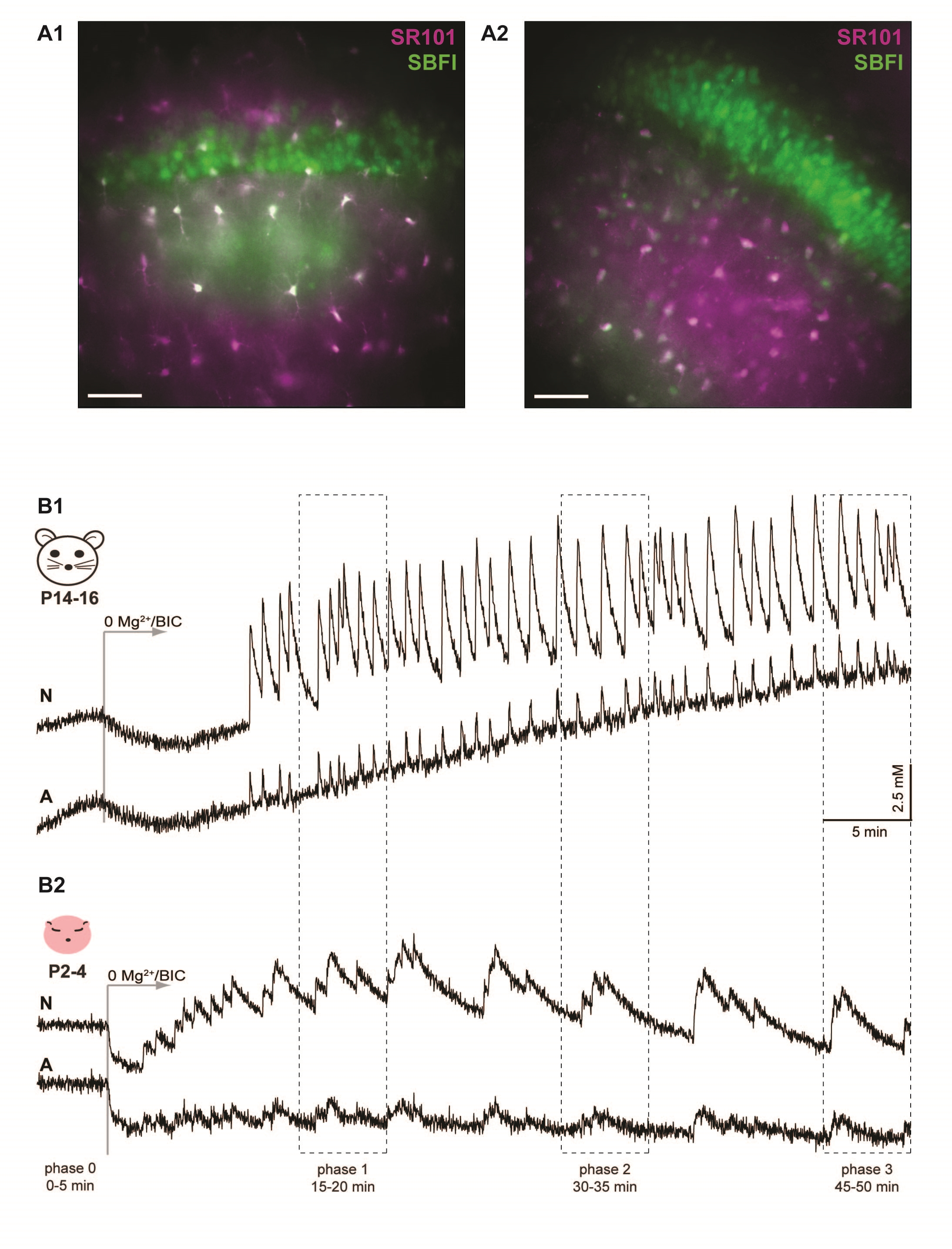 Figure 1. Network sodium oscillations induced by dis-inhibition in early postnatal hippocampus. A) Merged epifluorescence images of the CA1 region from P14-16 (A1) and neonatal (A2) slices stained with SBFI (green) and SR101 (magenta). The scale bars indicate 50 µm. B) Application of 0Mg2+/BIC induced recurrent sodium oscillations in neurons (upper trace; N) and astrocytes (lower trace; A) in both P14-16 (B1) as well as neonatal (B2) tissue slices. The traces represent averages of all individual cells from the illustrated experiment. The time windows in which detailed analyses were performed (phase 0-3) are indicated.