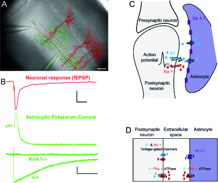 Figure 1. Synaptically-evoked potassium current in astrocytes and tri-compartment model of the potassium cycle between neurons, extracellular space and astrocytes. A) Sample scheme of the hippocampal CA1 region illustrating the arrangement of the stimulating electrode (left) to activate (yellow lightning) the Schaffer collaterals (SC, red lines), the patch pipette electrode (filled in green), to record currents from astrocytes (green), and the neuronal recording electrode (extracellular pipette, filled in red), to record fEPSP generated by CA1 pyramidal cells (red). Scale bar, 50 µm. B) Sample traces (2 upper traces) of synchronous recording of neuronal responses (field excitatory postsynaptic potential (fEPSP,  red) and pharmacologically isolated astroglial whole-cell K+ currents - obtained by subtracting the kynurenic acid (5 mM) insensitive component from the total current recorded with 100 µM picrotoxin - induced by SC stimulation in the hippocampal CA1 region. Scale bar, 0.1 mV for fEPSP, 15 pA for astroglial current, 25 ms. Note that the initial fast outward astroglial current component (dash green line) reflects the fEPSP, while the astroglial K+ current is the subsequent slow inward component (solid green line). Sample traces (lower superimposed traces, green) of the pharmacologically isolated astroglial K+ current in wild type and Kir4.1 glial conditional knockout mice (Kir4.1-/-). This current is fully abolished in Kir4.1-/- mice, showing the sole contribution of Kir4.1 channels the isolated astroglial K+ current. Scale bar, 15 pA, 2 s. C, D) Tri-compartment model accounting for the K+ cycle between the neuron, the extracellular space and the astrocyte. C) Schematic diagram describing the tri-compartment model where evoked neuronal activity releases K+ extracellularly, which is subsequently taken up by neighboring astrocytes. D) Simplification of the tri-compartment model to ionic fluxes exchanges between a postsynaptic neuron, a perisynaptic astroglial process and the extracellular space. The model includes channels and pumps carrying K+ and Na+ ions.