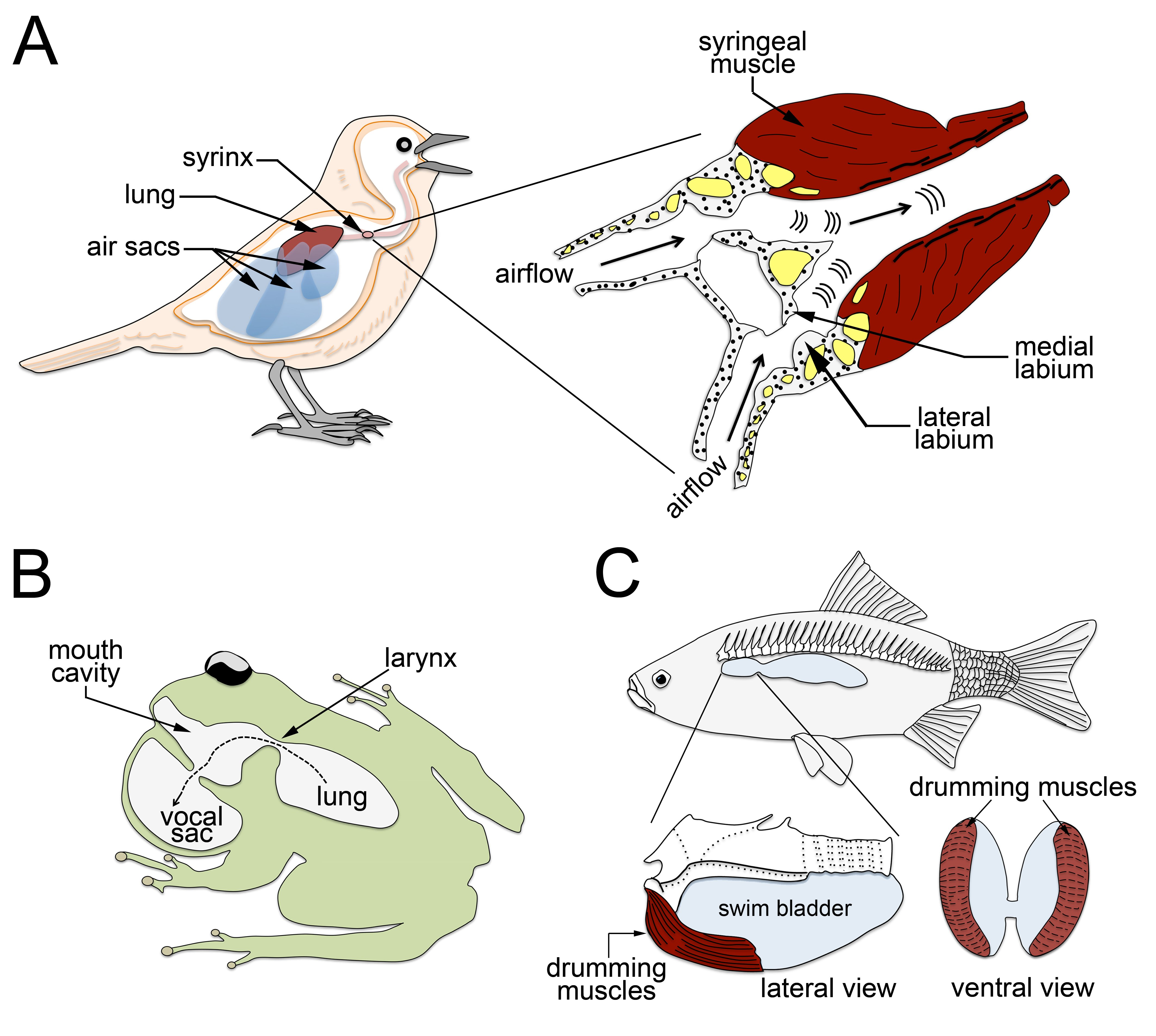 Figure 2. Anatomy of the vocal organ in non-mammalian vertebrates. (A) Schemes depicting the position (on the left) and structure (on the right) of the syrinx in birds. The basic anatomy of the larynx includes a paired set of strong muscles known as syringeal, several cartilages (in yellow), vibrating membranes known as labia, and a vocal tract. Air-containing appendages known as airs sacs receive and maintain inhaled air before passing it through the lungs, thereby functioning like a bellow device that continuously supplies pressurized expiratory airflow that forces vibration of the lateral and medial labia to produce vocalizations. Schemes adapted from https://academy.allaboutbirds.org/anatomy-of-bird-song-slides/ and Ladich and Winkler, 2017. (B) Scheme illustrating the vocal apparatus of amphibians, which shares anatomical structures with mammals, i.e. the larynx and vocal cords, and includes in addition vocal sacs. Like in mammals, amphibian vocal sounds are produced when forced exhalation sets off the vibration of the vocal folds. Scheme adapted from https://biologyboom.com/evolutionary-pressures-in-amphibians/ (C) Schemes illustrating the most common vocal apparatus of bony fishes. This sound-producing system depends on fast-contracting muscles know as drumming muscles that are associated with the swim bladder. Schemes adapted from https://u.osu.edu/biomuseum/category/biodiversity/local-fauna/page/2/ and Ladich and Winkler, 2017.