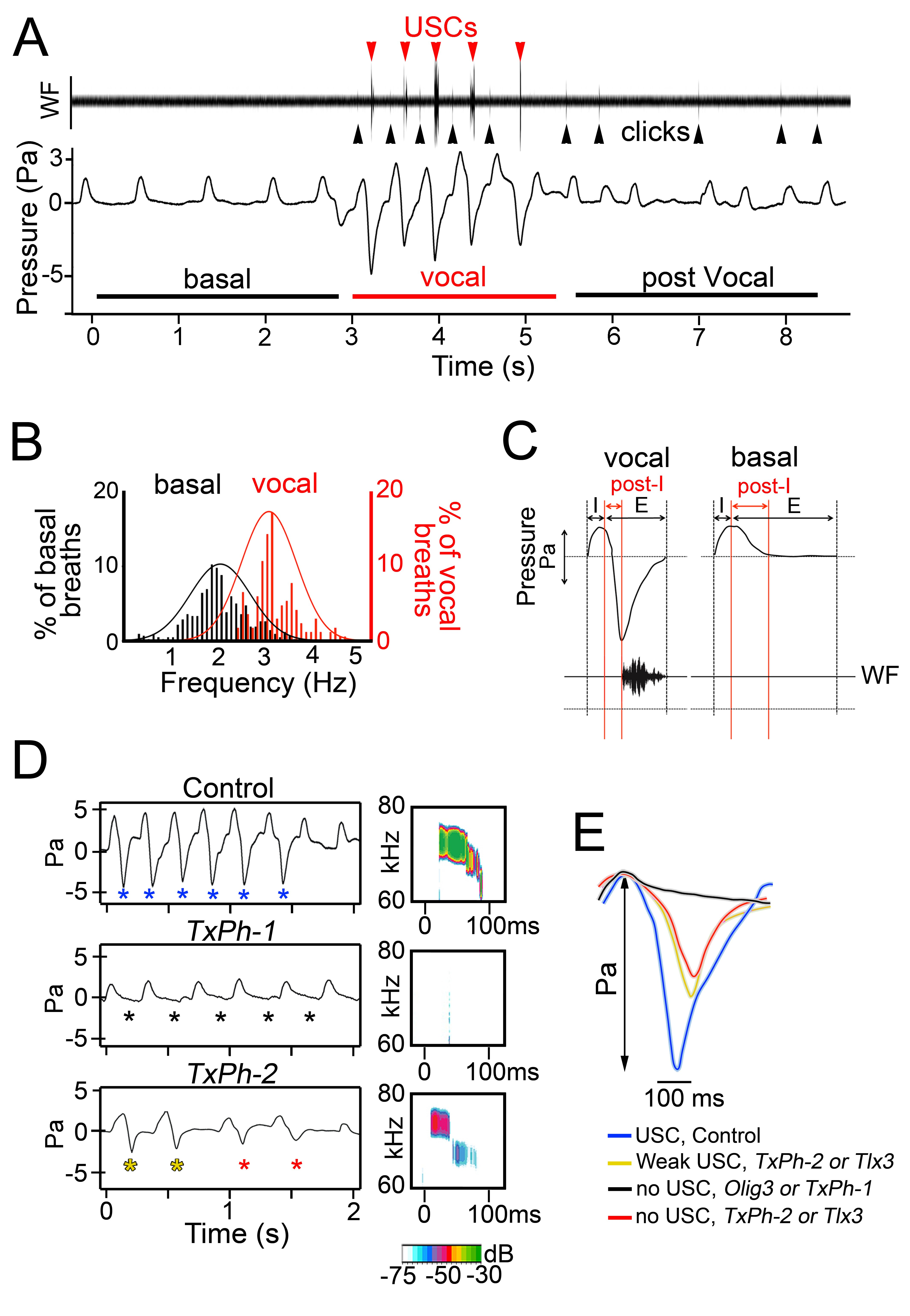 Figure 5. Vocal breathing behavior in mice that lack the nucleus of the solitary tract. (A) Waveform and plethysmographic traces illustrating basal and vocal breathing episodes in control mice. Red and black arrowheads point to USCs and clicks, respectively. (B) During vocalization, breathing frequencies change from about 2 Hz to more than 3 Hz. (C) Plethysmographic recording and waveforms (WF) during a representative vocal and a basal expiration. Inspiratory (I), expiratory (E), and post-inspiration phases (post-I, red lines) are indicated. Note that ultrasonic calls occur at the peak of post-inspiratory pressure activity during a vocal expiration (D) Left, plethysmographic recordings of control, TxPh-1, and TxPh-2 mice. Blue asterisks indicate expirations of control mice that produced USCs. Black asterisks indicate expirations of TxPh-1 mice that produce no USCs. Red and yellow asterisks indicate expirations of TxPh-2 mice that produced no calls or weak calls, respectively. Right, spectrograms from control, TxPh-1 and TxPh-2 mice. Note that only clicks are observed in TxPh-1 mice. Sound intensity (in dB) is color-coded. (E) Representative plethysmographic traces of individual post-inspiratory phases in control (blue), Olig3−/−, and TxPh-1 mice (indistinguishable, shown together in black), as well as TxPh-2 or Tlx3−/− mice that were associated with weak or no calls are shown in yellow and red, respectively. Panels A-E were adapted from Hernandez-Miranda et al., 2017.