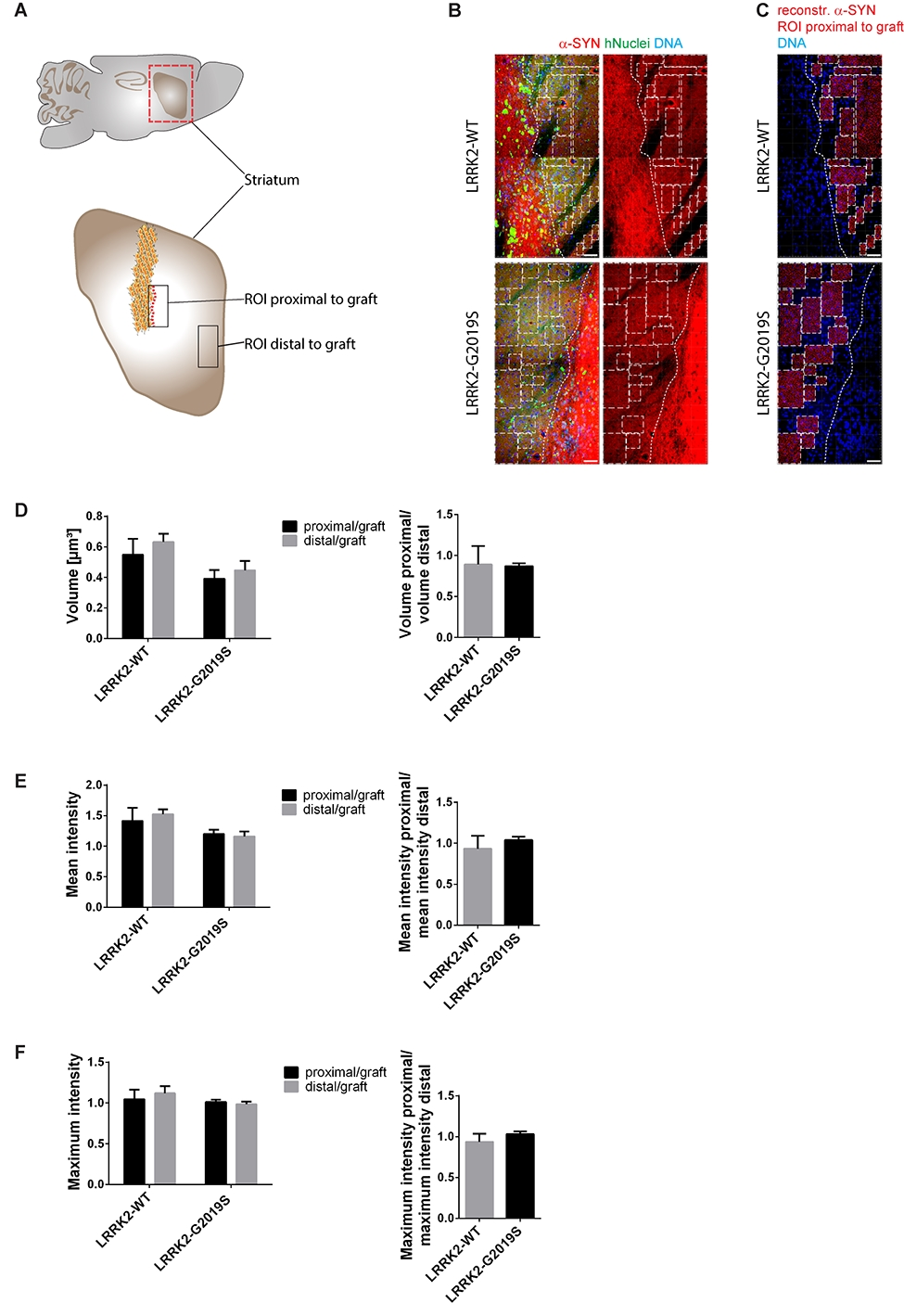 Figure 2. Alpha-Synuclein spreading from the graft was not detected in the surrounding tissue. A Schematic overview of the mouse adult brain indicating the ROIs that were chosen to analyse endogenous mouse alpha-Synuclein close (proximal) as well as far (distal) from the graft. B Representative images of the ROIs that were chosen proximal to the graft. Dashed lines define the edges of the graft. Squares mark the ROIs proximal to the graft that were used to create 3D surfaces shown in C. C 3D surface reconstruction of endogenous mouse alpha-Synuclein of the ROIs shown in B. D-F Quantification of the volume, the mean intensity and the maximum intensity of the reconstructed endogenous mouse alpha-Synuclein surfaces proximal to the graft and distal to the graft. Left: Proximal and distal ROIs of endogenous mouse alpha-Synuclein were normalized to the ROIs of the graft and eventually the different distances were compared to each other within the same cell line. Right: The ratio of the different regions of endogenous mouse alpha-Synuclein were compared between the different cell lines. Scale bars: 50 µm (B and C). Error bars represent mean + SEM (LRRK2-WT n=3, LRRK2-G2019S n=6); α-SYN: alpha-Synuclein, max: maximum, ROI: region of interest.