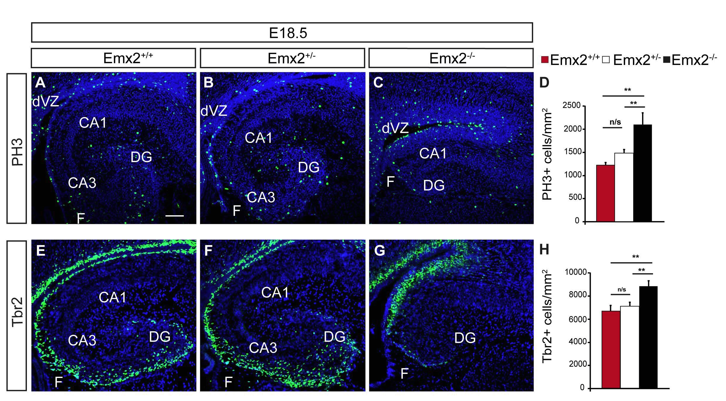 Figure 4. Emx2 mutant mice show an increase in the density of PH3 and Tbr2 positive cells in the VZ of the dorsal hippocampus. Sagittal sections of E18.5 (A-C and E-G) wt (A, E), heterocygous (B, F) and Emx2 mutant mice (C, G), showing immunohistochemistry of PH3 (A-C), or Tbr2 (E-G) marker. Quantification (D, H) of the expression of PH3 (D) or Tbr2 (H) in controls (red bar) het (white bars) and Emx2-/- mutant mice (black bars) by cell density in the VZ of dorsal hippocampus. (CA1, Cornus Ammonis 1, CA3 Cornus Ammonis 3, DG, dentate gyrus, F, fimbria, dVZ, dorsal ventricular zone). Scale bar (in A) A-C, E-C, 50 μm.