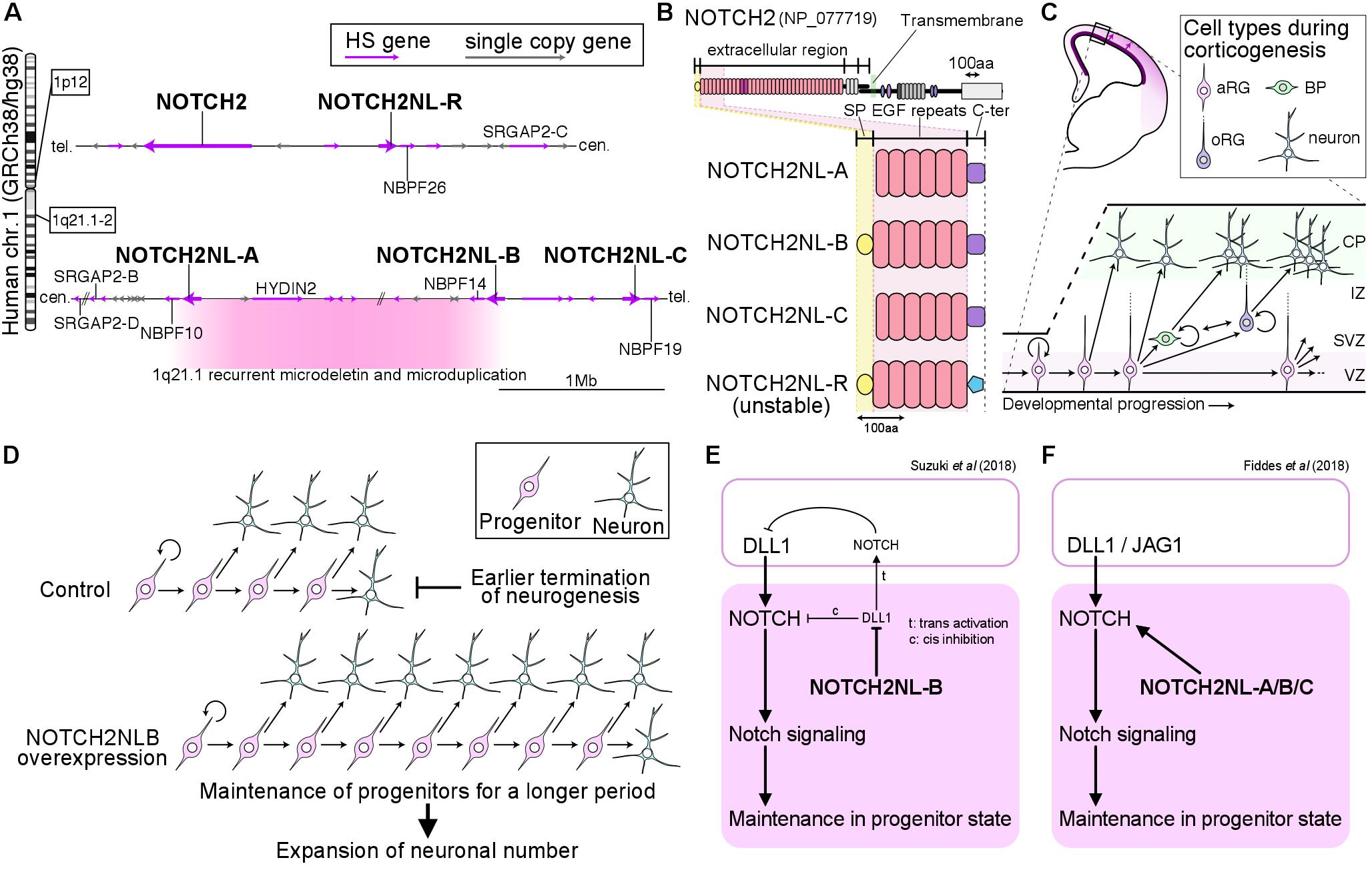 Figure 1. (A) Genomic positions of NOTCH2NL-family genes and other human/hominid lineage-specific duplicated genes in 1p12 and 1q21. (B) Protein structures of NOTCH2NL-family genes. (C) Major cell types during corticogenesis. NOTCH2NL is heavily expressed in the VZ harboring the aRG and sparsely detected in the outer SVZ containing the oRG. (D) Proposed mechanisms of action of NOTCH2NL-B in cortical neurogenesis; NOTCH2NL-B keeps cortical progenitors for a longer period and it thus elongate the duration of neurogenesis. (E, F) Proposed molecular function of NOTCH2NL in human cortical progenitors. Suzuki et al (2018) demonstrated that NOTCH2NL-B inhibits a Notch ligand DLL1 and its suppressive action on DLL1 increases Notch signal input cell-autonomously (E). Fiddes et al (2018) showed that NOTCH2NL proteins bind to and activate Notch receptors (F). HS genes, human/hominid-specific genes; SP, signal peptide; aRG, apical radial glia; BP, basal progenitor; oRG, outer radial glia; VZ, ventricular zone; SVZ, subventricular zone; IZ, intermediate zone; CP, cortical plate.