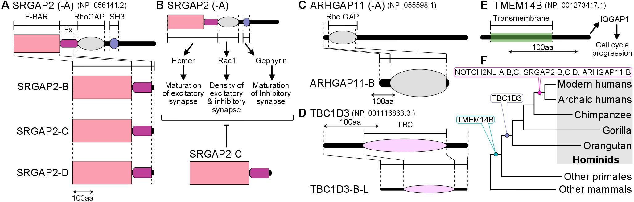 Figure 2. (A) Protein structures of SRGAP2-family genes. (B) Proposed molecular mechanism of SRGAP2 (-A) and SRGAP2-C. (C) Protein structures of ARHGAP11-family genes. (D) Protein structures of TBC1D3-family genes. (E) Protein structures of TMEM14B-family genes and its proposed molecular function. (F) The evolutionary timing of the emergence of human/hominid lineage-specific genes.